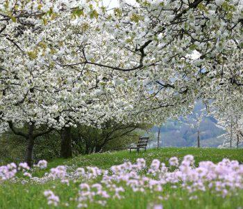 Kirschblueten-bei-Hepsisau